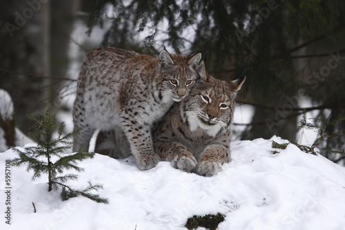 Poster Lynx Luchs mit Jungtier
