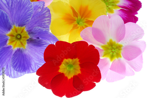 colorful frimula flowers