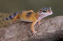 Leopard Gecko On Rock