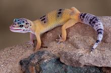 Leopard Gecko Licking Lips