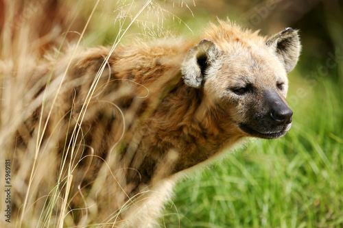 Papiers peints Hyène African Hyena