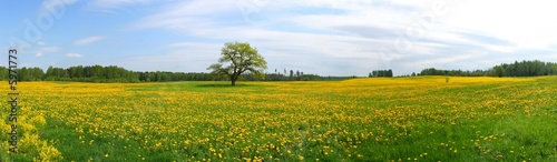 Panorama of dandelion field