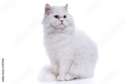 Foto auf Acrylglas Katze White cat with blue eyes. On a white background