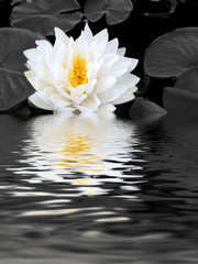Obraz na Plexi Czarno-Biały White Lily Beauty