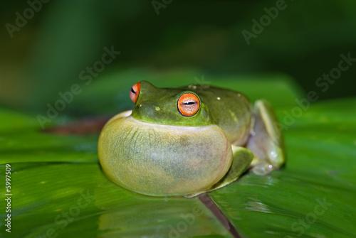 Foto op Plexiglas Kikker green tree frog all puffed up about to croak