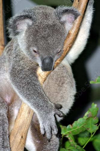 Canvas Prints Koala Koala Bear..