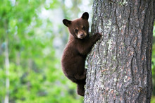 An American Black Bear Cub Cli...