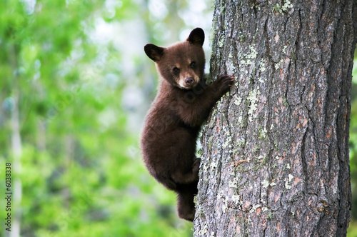 Photo  An American black bear cub clings to the side of the tree