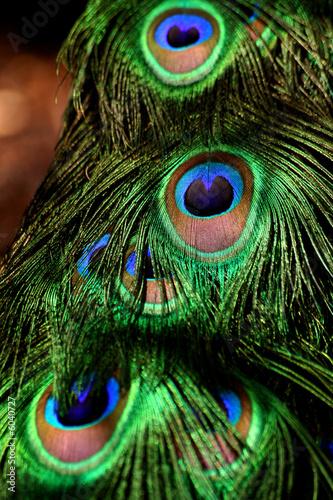 Foto op Aluminium Pauw Peacock Feathers