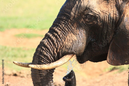 Foto op Canvas Bison African Elephant Bull showing trunk and tusk