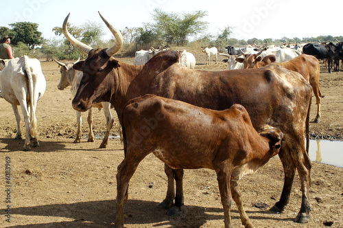 Garden Poster Cow Elevage