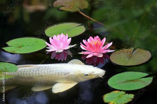 Fotografie, Obraz  Koi Pond