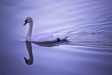 Swan Floating Peacefully On Violet Background