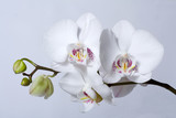 phalenopsis orchid, on grey background