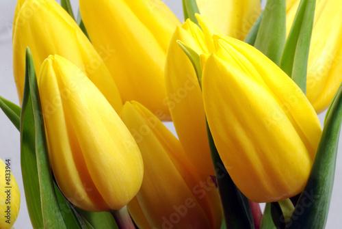 Doppelrollo mit Motiv - Gelbe Tulpen (von gourmecana)