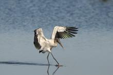 Wood Stork Everglades