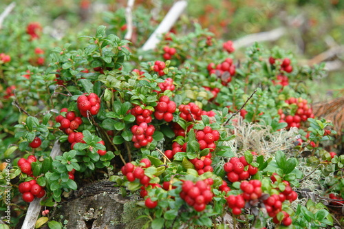 Stampe  Mountain Cranberries (Billberries)