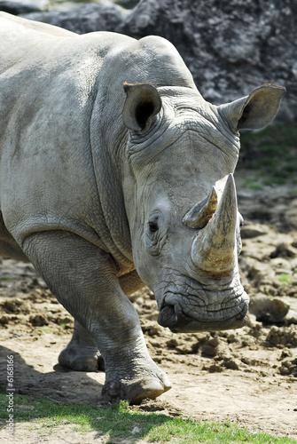 Poster Rhino portrait rhinocéros blanc