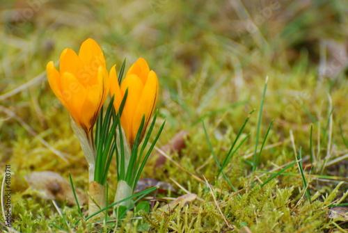Frühling - Krokusse auf Frühlingswiese