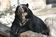 "Spectacled Bear  ""Tremarctos O..."