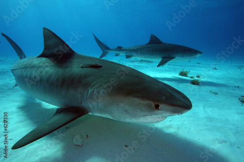 tiger-sharks-w-tiger-beach-bahamy