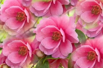 Fototapeta Do sypialni fleur : rose