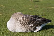 Goose Sleeping
