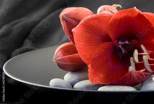 rote Amaryllis auf schwarzem Teller Canvas Print