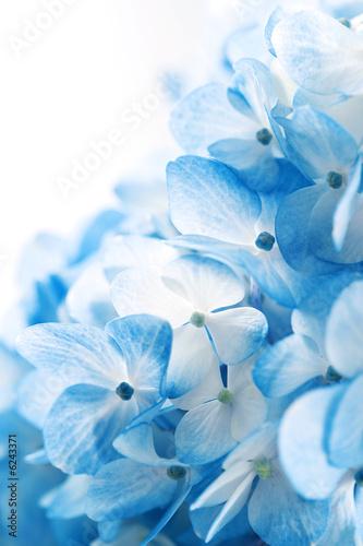 hortensja-kwiaty-tlo