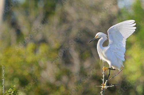 Photo aigrette garzette neigeuse neigeux snowy egret