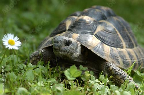 Foto op Plexiglas Schildpad Griechische Landschildkröte