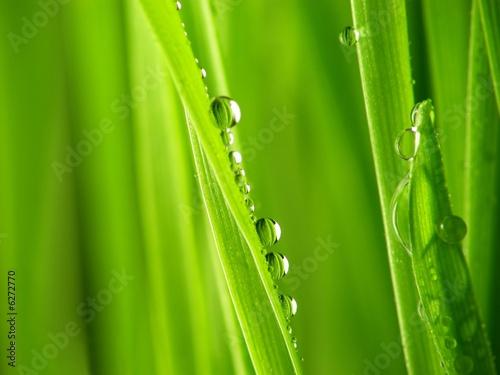 Keuken foto achterwand Paardebloemen en water Close-up of fresh green straws with water drops