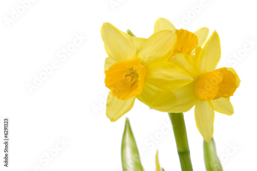 Türaufkleber Narzisse Pretty yellow daffodils on white background isolated