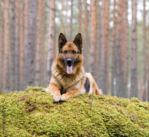 Foto op Plexiglas Leeuw Germany Sheep-dog laying on the stone