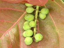 Fruit Du Raisinier-du-bord-de-mer