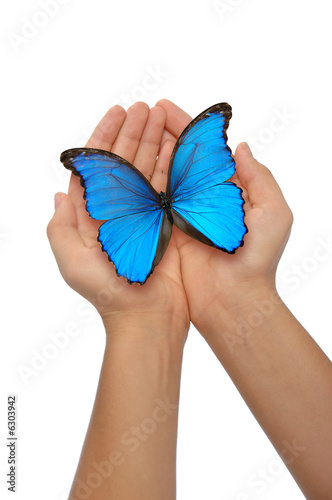 Fotografie, Obraz  Hands holding a blue butterfly against a white background