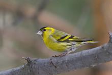 Bird - Siskin (carduelis Spinus)
