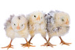 canvas print picture Three cute little chickens standing in a row