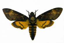 "Night Hawk Moth From Picture ""Silence Of The Lumb"""