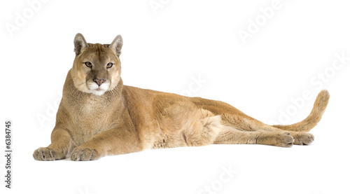 Ingelijste posters Puma Puma (17 years) - Puma concolor