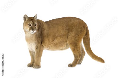 Poster Puma Puma (17 years) - Puma concolor