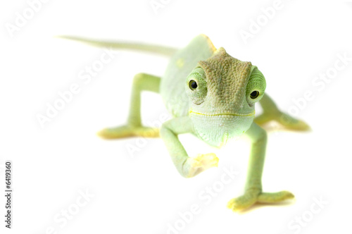 Foto op Canvas Kameleon Chameleon. Isolation on white.