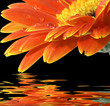 Leinwandbild Motiv orange gerbera daisy on the black background with reflection