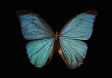 Blue Morpho Butterfly On A Black Background