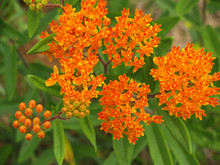 Butterfly Weed Or Orange Milkw...