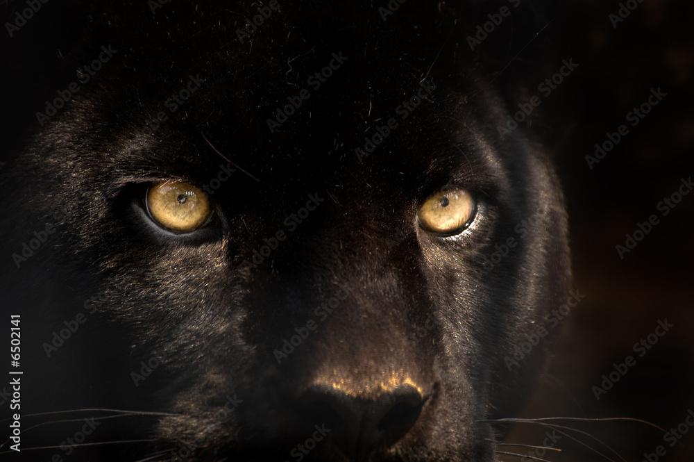 Fotografie, Obraz black panther