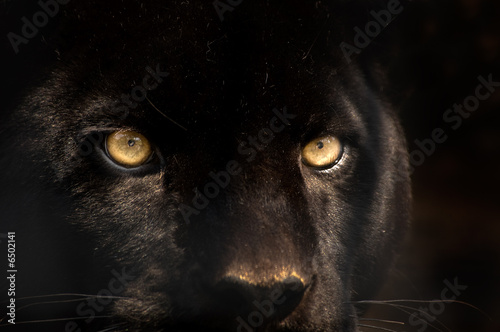 Aluminium Prints Leopard black panther