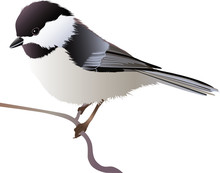 Black Capped Chickadee Perchin...