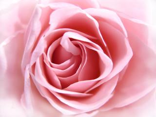 Obraz na Szklepink rose