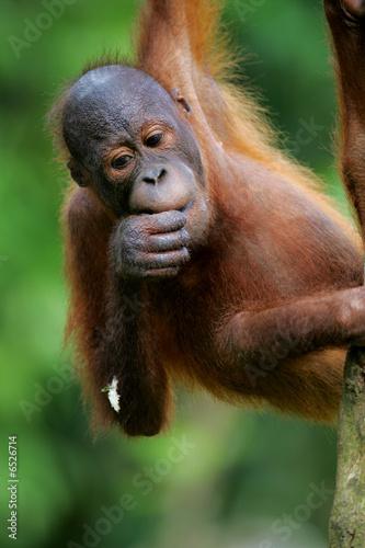 In de dag Aap Orangutans